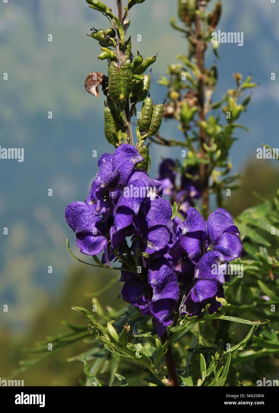 Monkshood Beautiful But Very Poisonous Flower Growing In The Alps