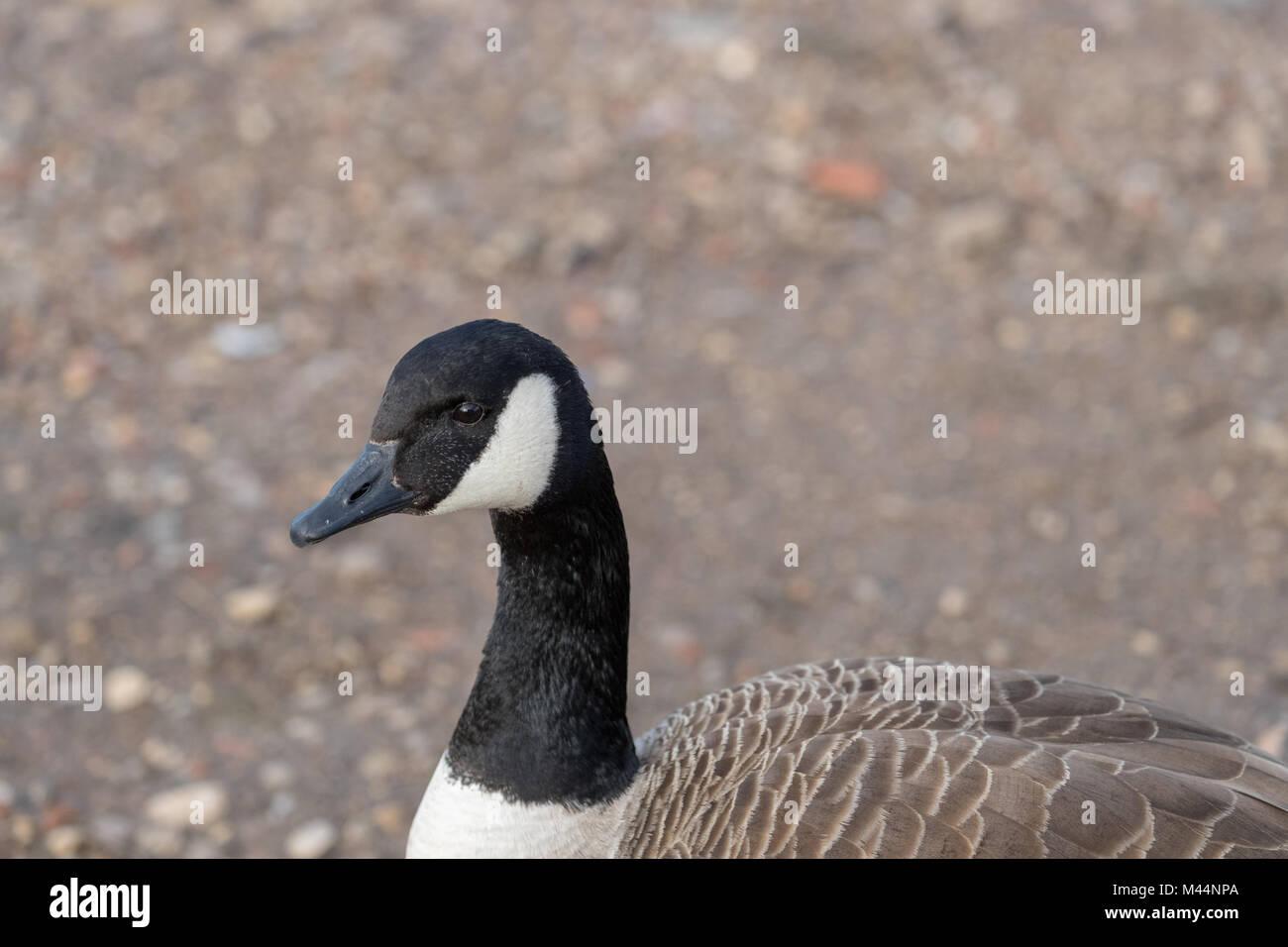 Canada goose head stock photos canada goose head stock images canadian goose branta canadensis on shore close up stock image biocorpaavc