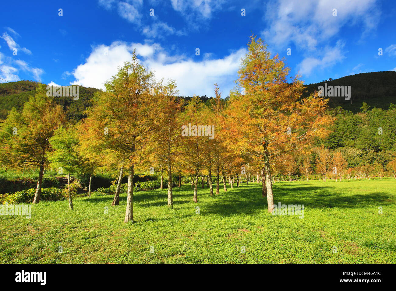 Landscape of Bald cypress trees,many beautiful colorful trees ...