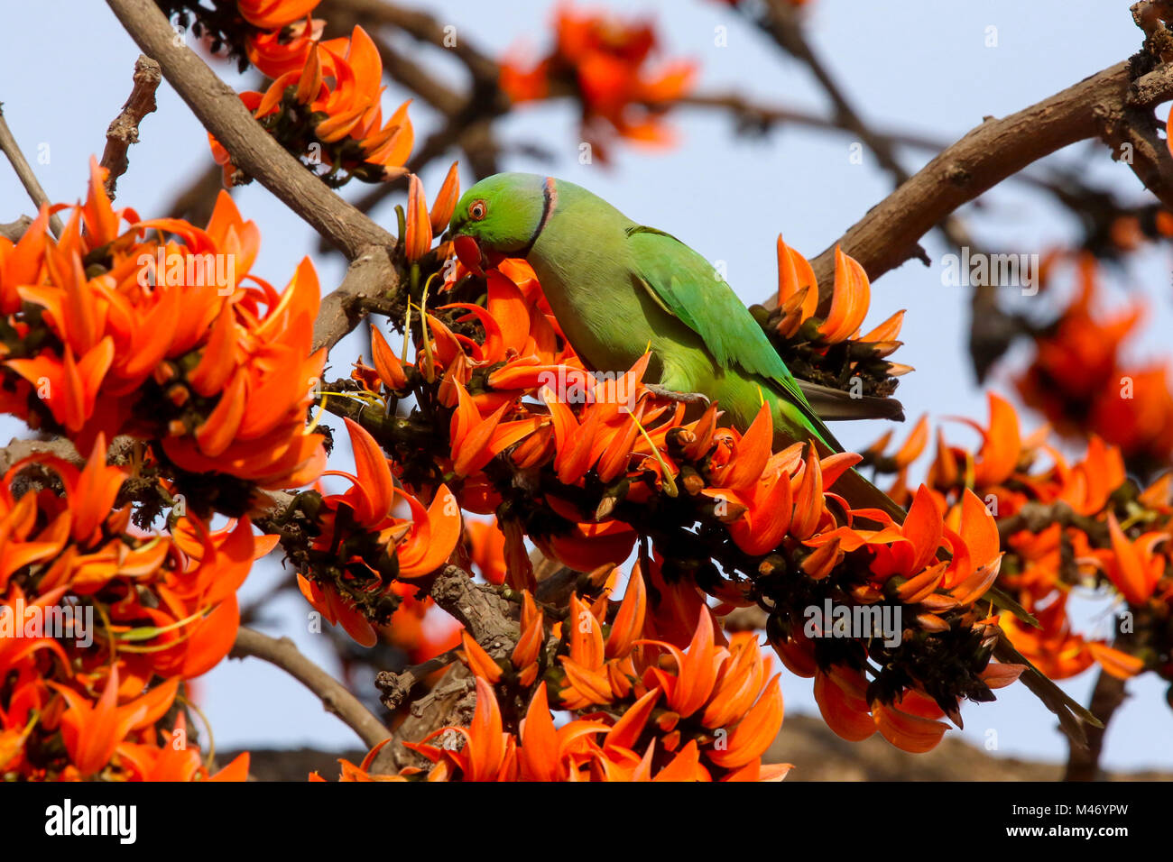 A Rose Ringed Parakeet Perching On The Branch Of A Palash The