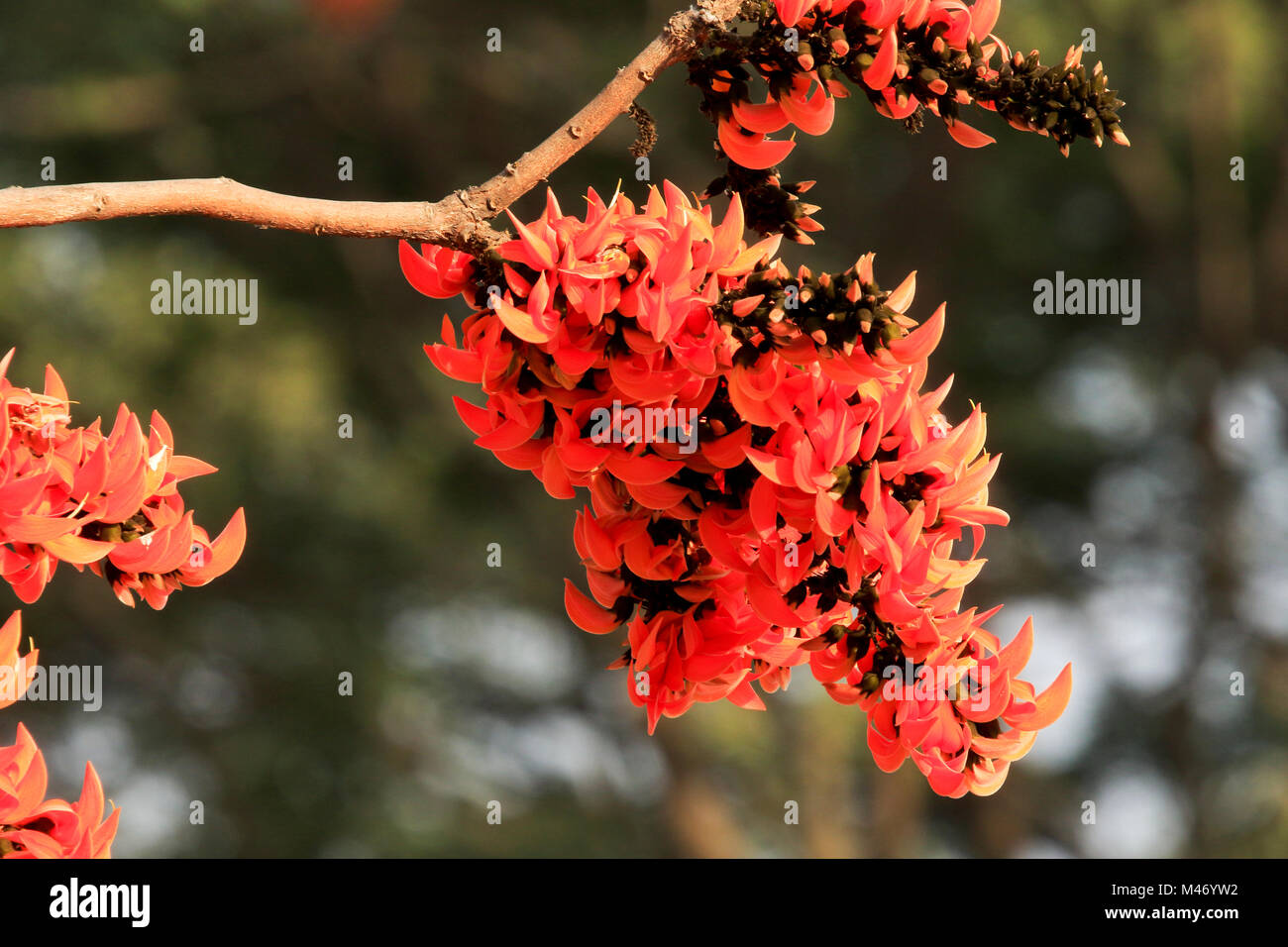 Spring Flower Palash Blooms Flamboyantly Advent Of The Spring In The