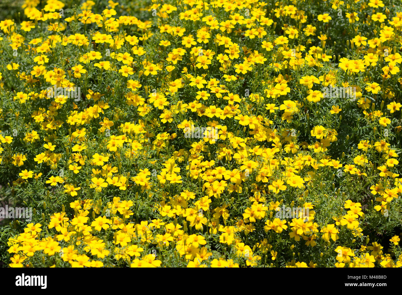 Yellow Flower Bush Many Yellow Spring Flowers Stock Photo