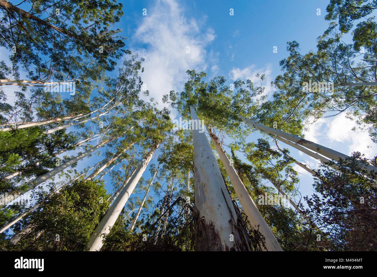 Tall Tree Eucalyptus Stock Photos & Tall Tree Eucalyptus