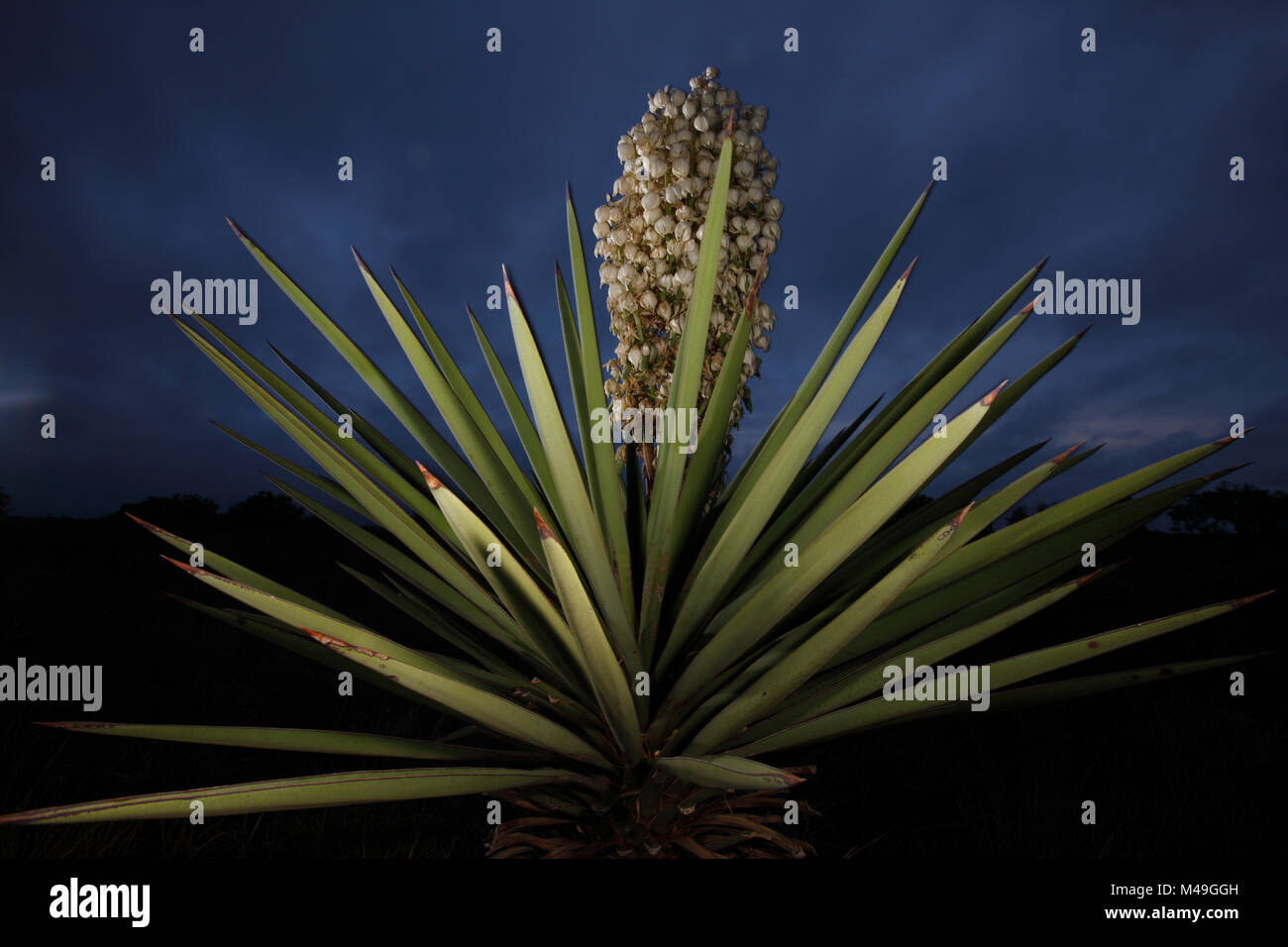 yucca yucca torreyi in flower at night south texas usa april rh alamy com