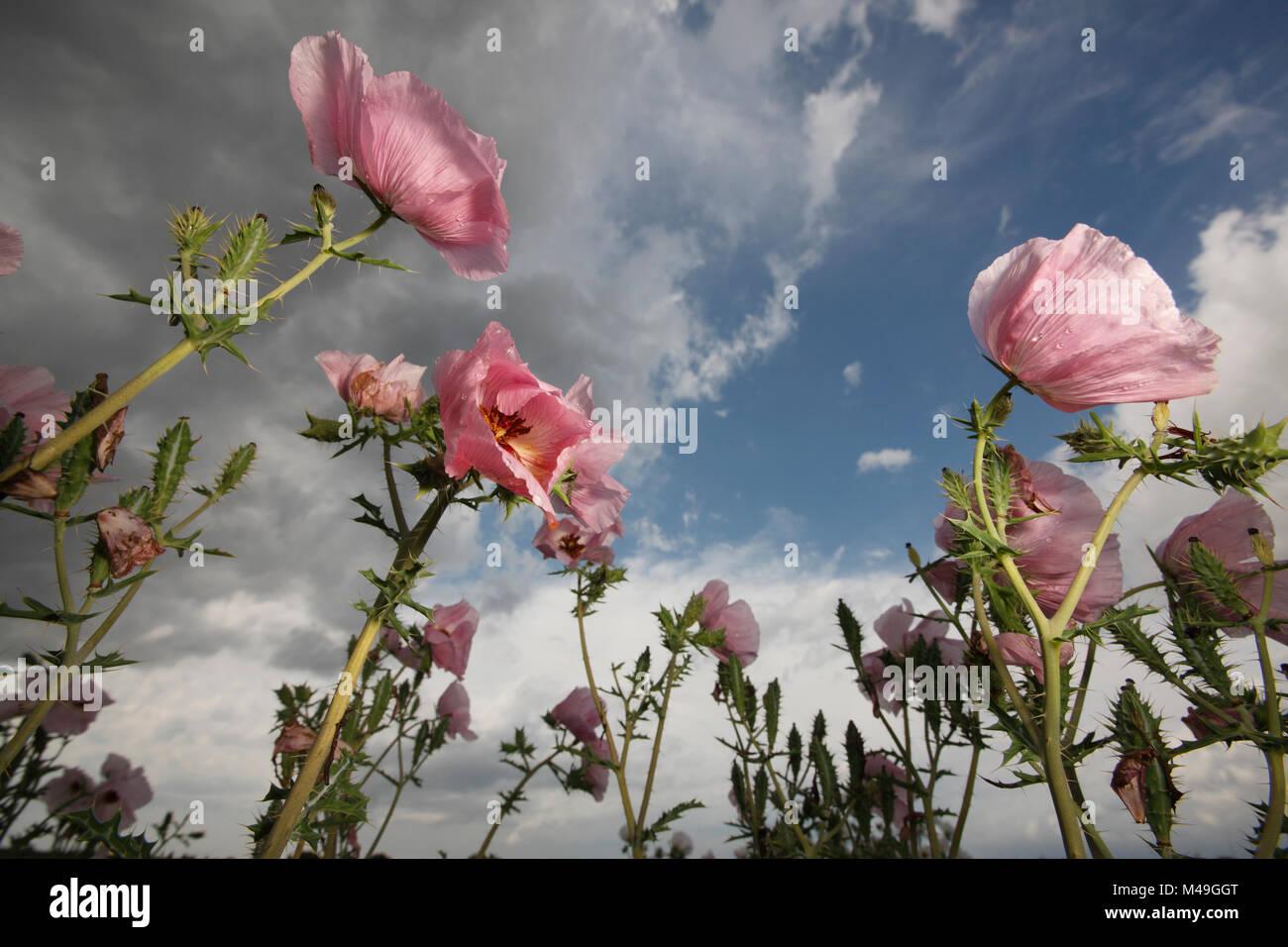 White Prickly Poppy Argemone Albiflora Flowers In Spring South