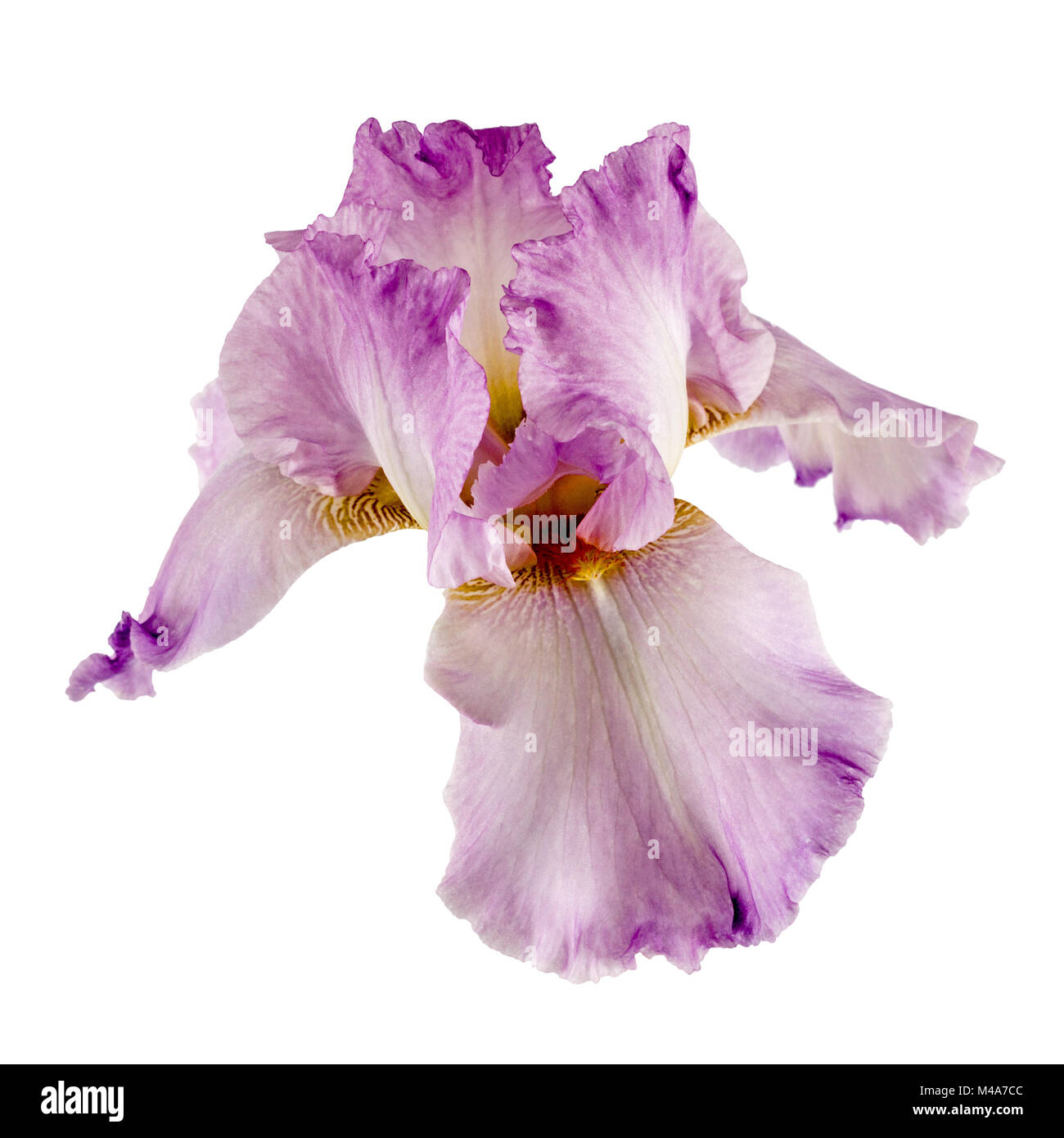 Violet flower of iris isolated on white background stock photo violet flower of iris isolated on white background izmirmasajfo