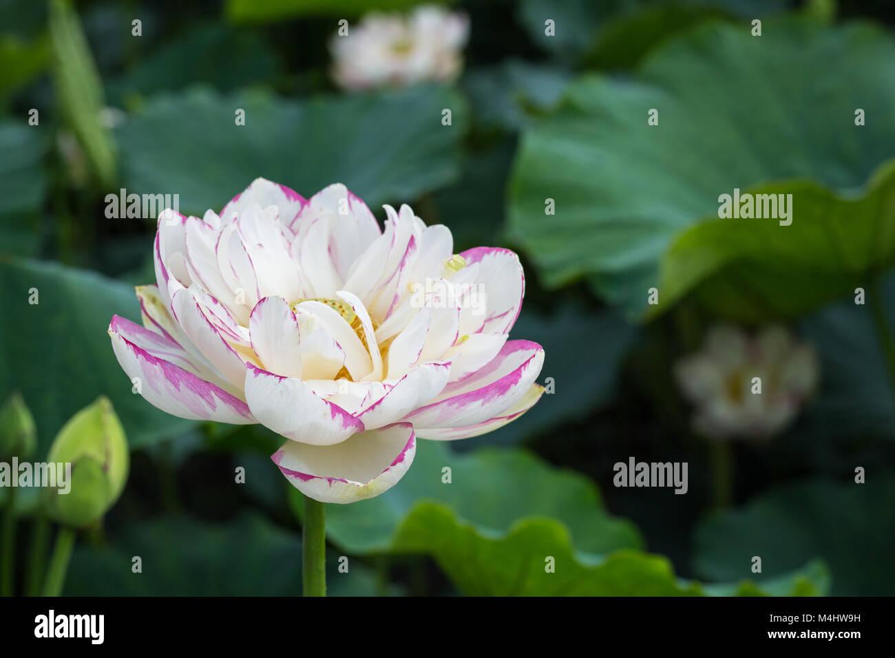 Beautiful Buddha Lotus Flower Closeup Stock Photo 174955357 Alamy