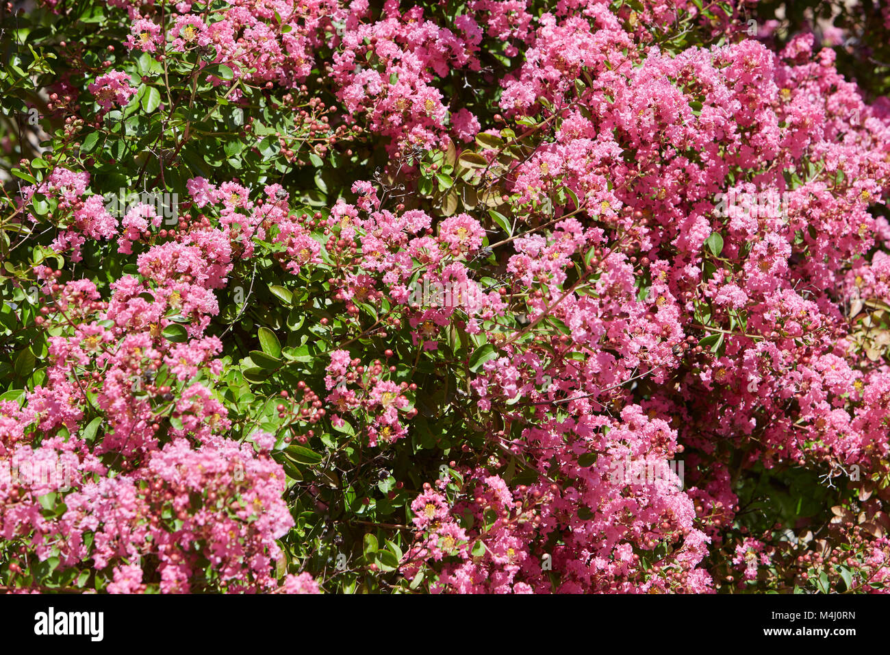 Pink Flowers Bush Background In A Sunny Summer Day Stock Photo