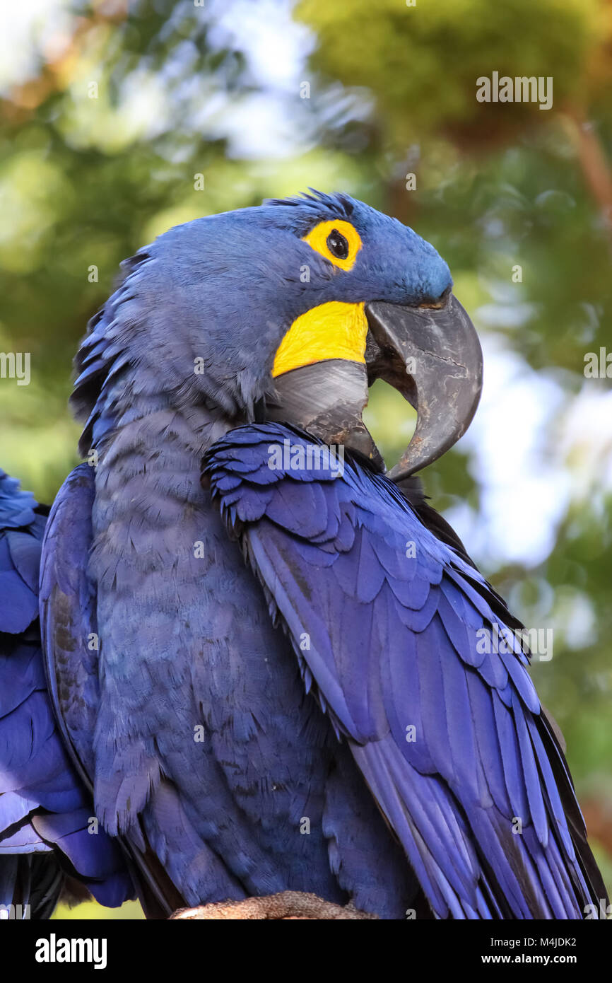 portrait of an impressive hyacinth macaw profilepantanal brazil