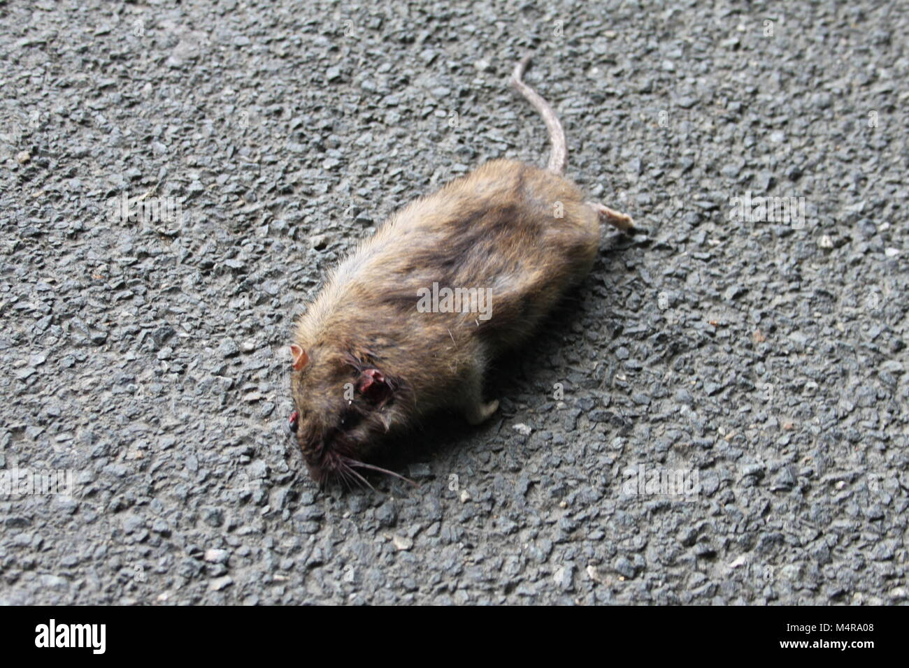 how to kill white tail.rats