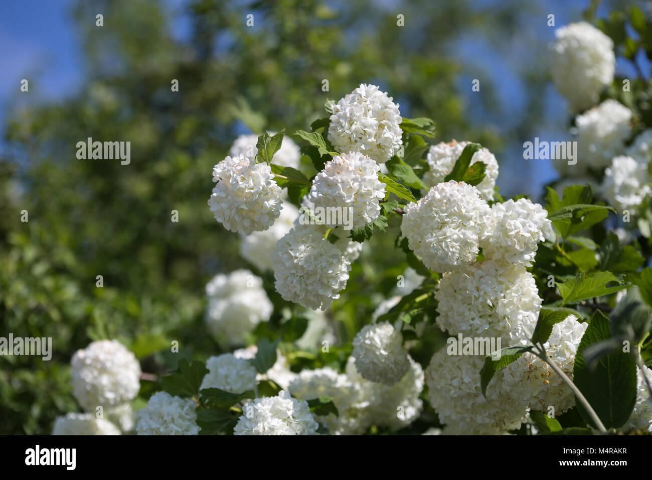 Ornamental Plant Snowball Viburnum White Flowers And Green Leaves