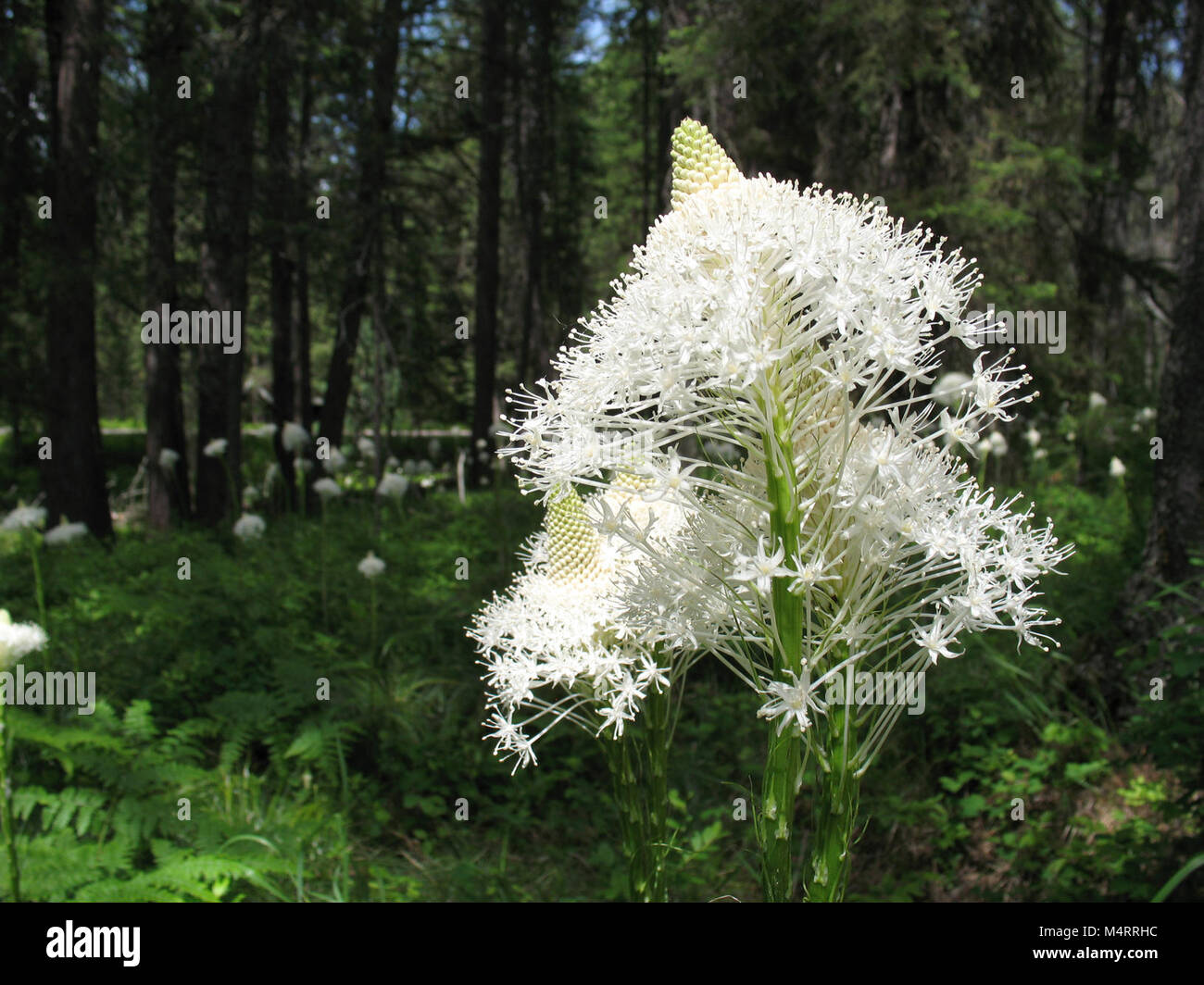 An Unofficial Symbol Of Glacier National Park Beargrass Blooms On