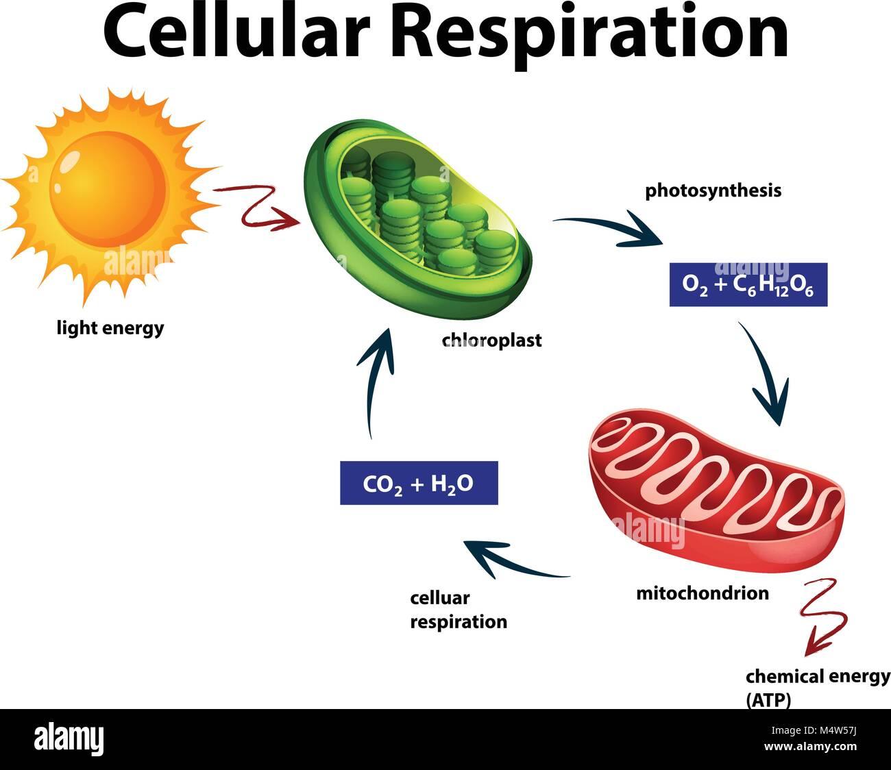diagram showing cellular respiration illustration stock vector art