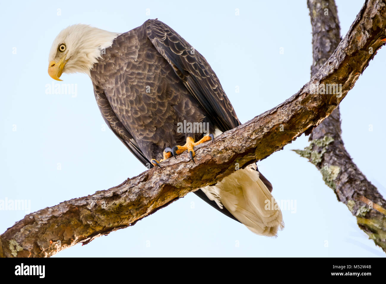 bald eagle perched on a tree branch stock photo 175240587 alamy