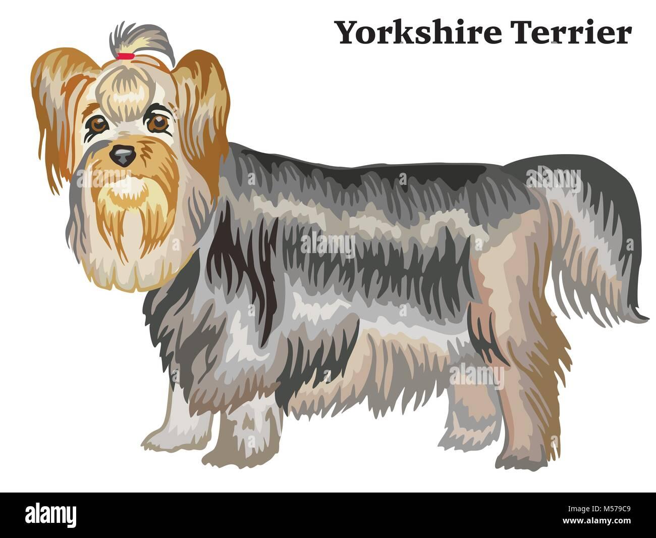Portrait Of Standing In Profile Dog Yorkshire Terrier Vector Stock