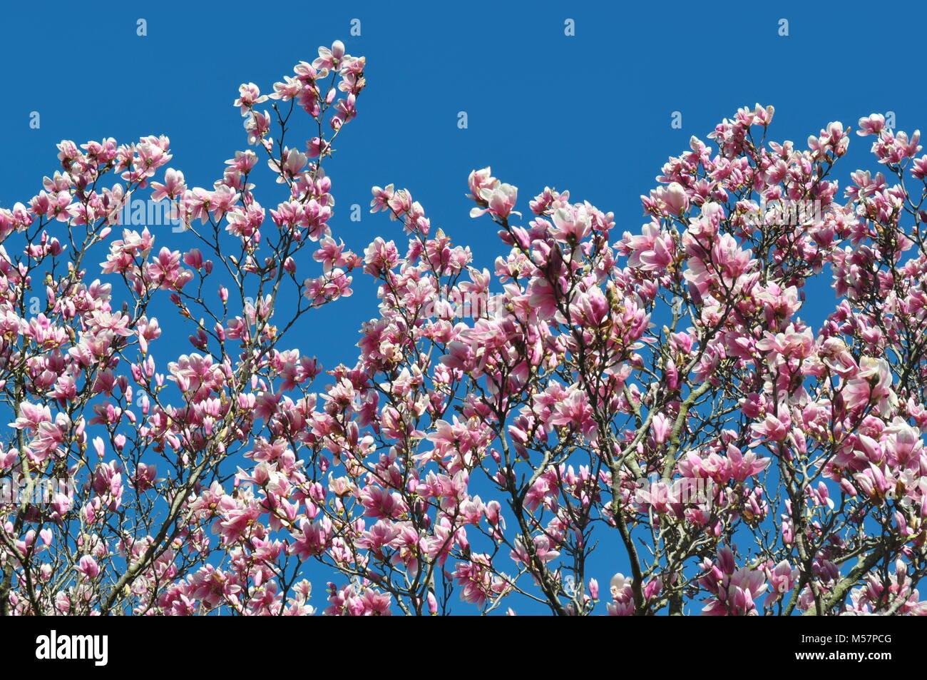 Beautiful light pink magnolia big dude flowers against a clear beautiful light pink magnolia big dude flowers against a clear blue sky with copy space springtime theme spring blooming decorative trees mightylinksfo
