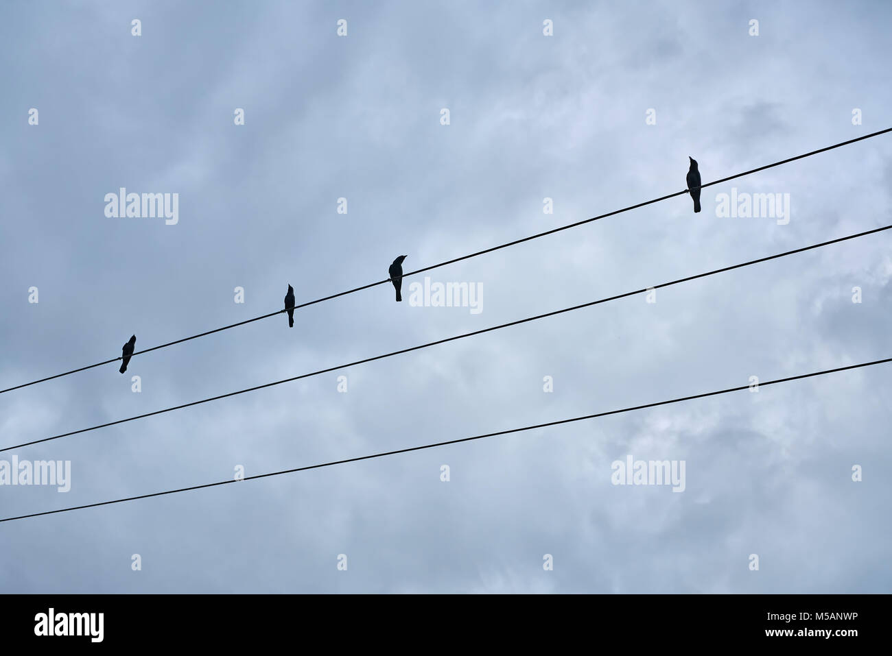 Black birds sitting on electric cable Stock Photo: 175413666 - Alamy