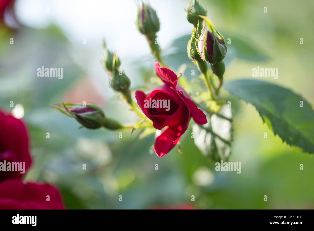Romance petal romantic valentine plant love beautiful beauty romance petal romantic valentine plant love beautiful beauty flower rose nature rose flowers rose flower red stamens blurring shine izmirmasajfo