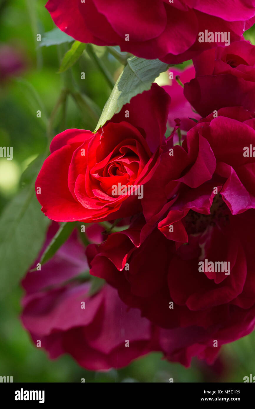 Romance petal romantic valentine plant love beautiful beauty romance petal romantic valentine plant love beautiful beauty flower rose nature rose flowers rose flower red stamens blurring shine izmirmasajfo
