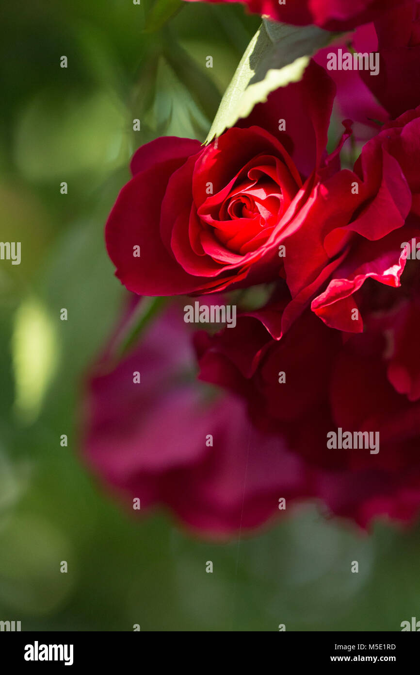 Romance Petal Romantic Valentine Plant Love Beautiful Beauty