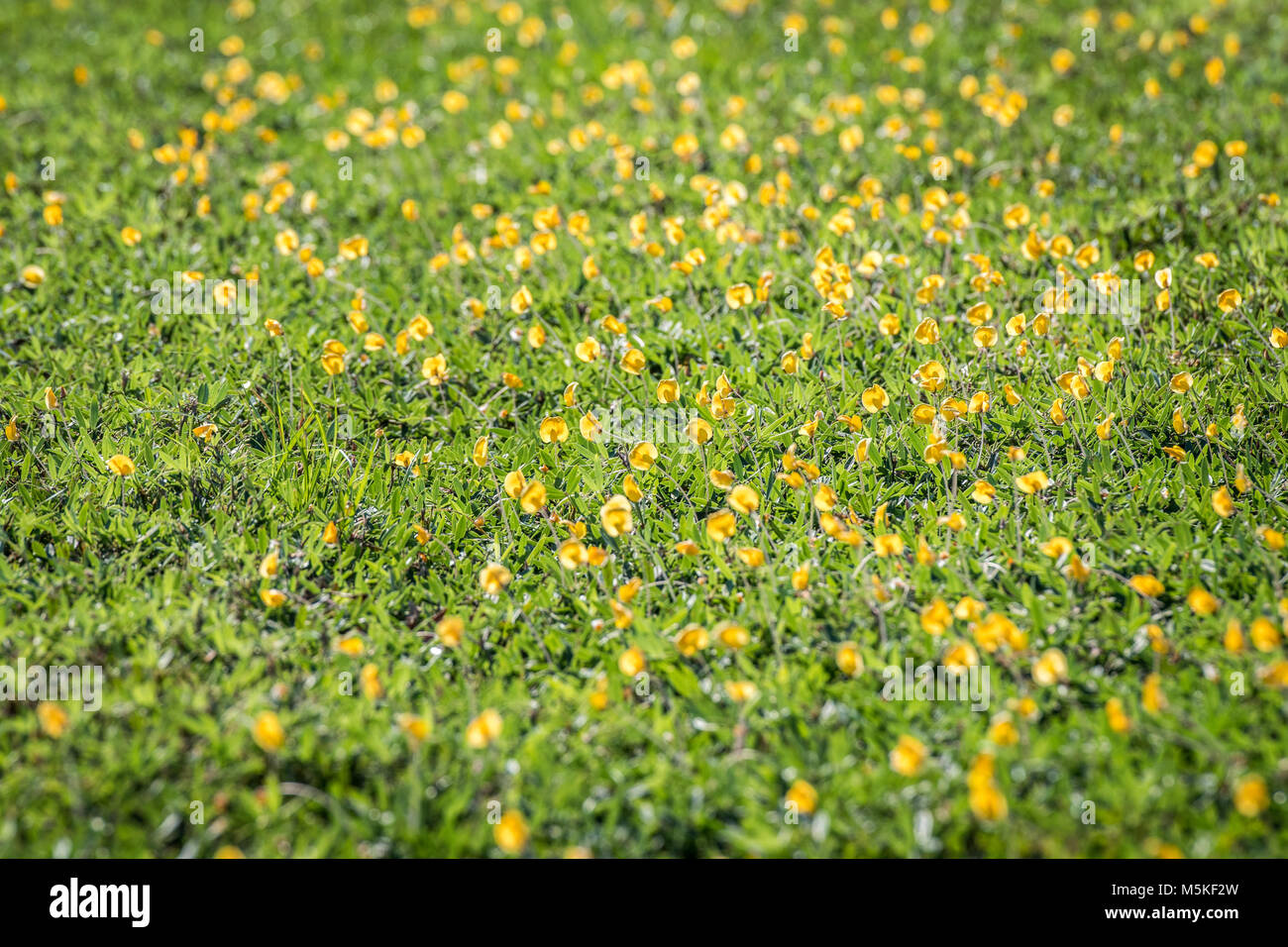 Field Of Yellow Flowers From Perennial Peanut Plant Being Used As A