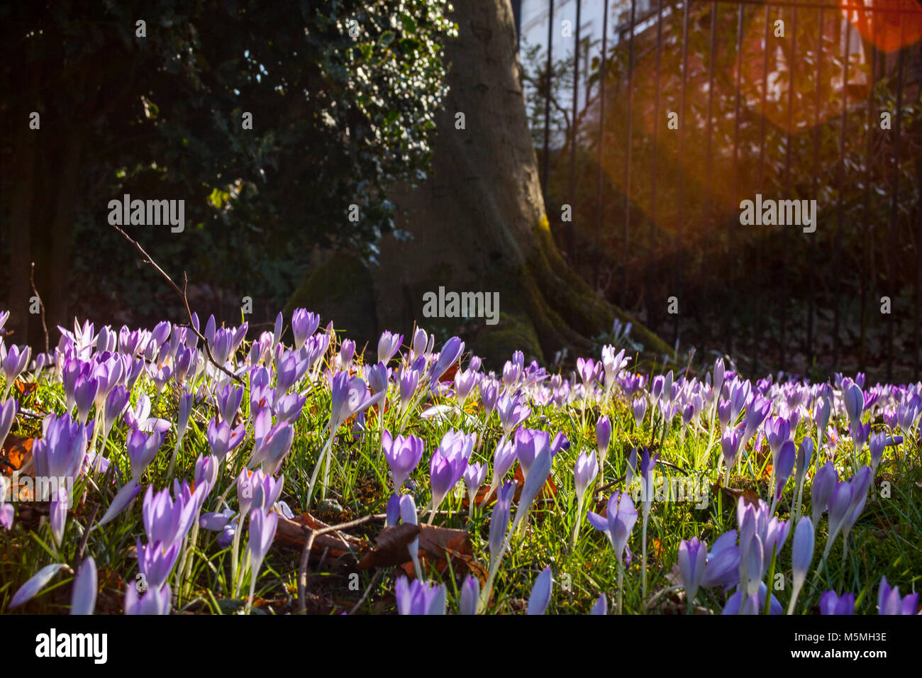 Beautiful colorful magic blooming first spring flowers purple crocus beautiful colorful magic blooming first spring flowers purple crocus in wild nature field sunset sunlight in forest horizontal copy space mistery mightylinksfo