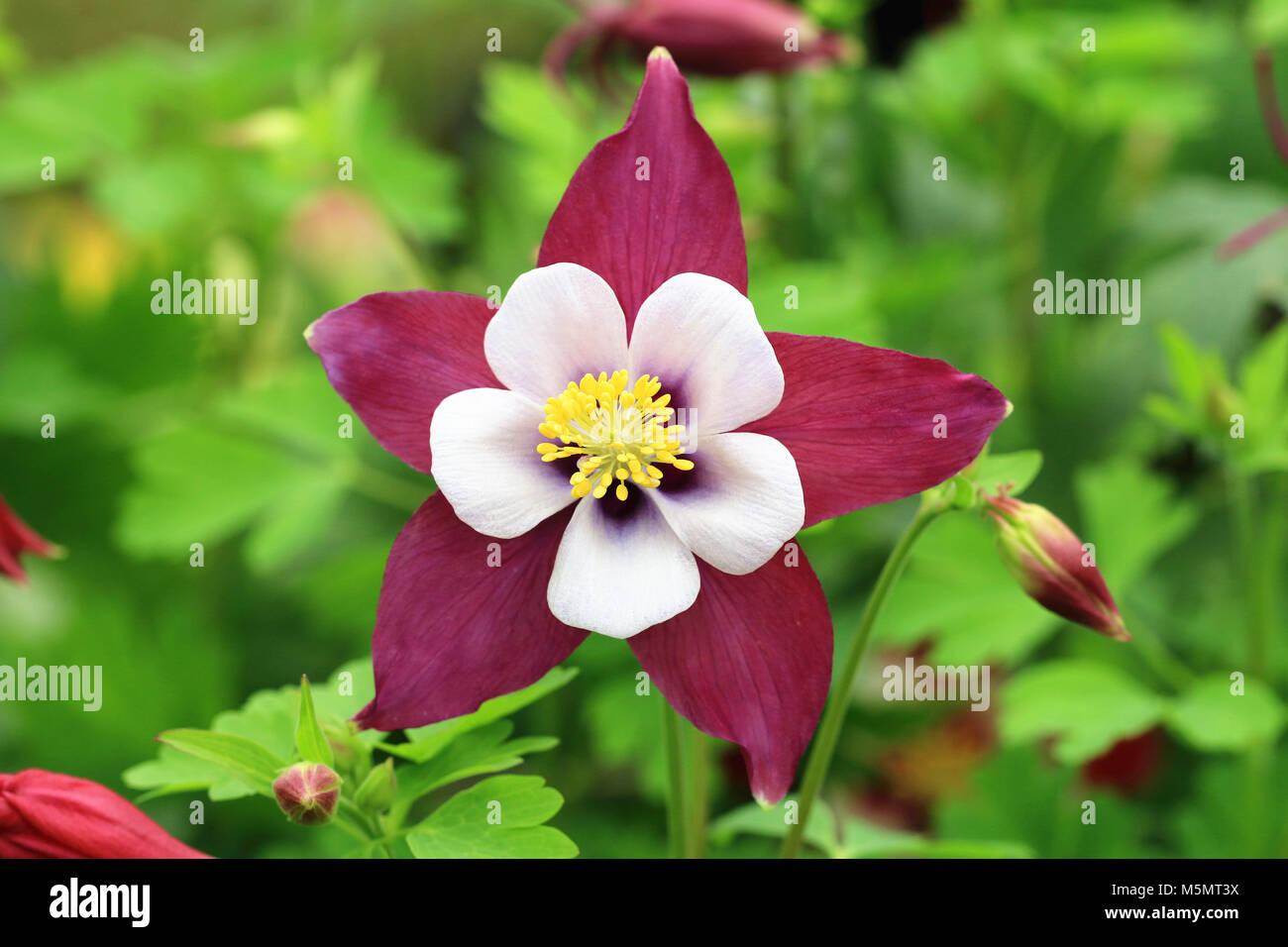 Columbine Flower And Budscloseup Of Purple With White Columbine