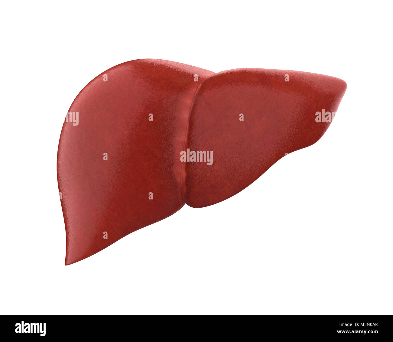 Human Liver Anatomy Stock Photo 175638255 Alamy