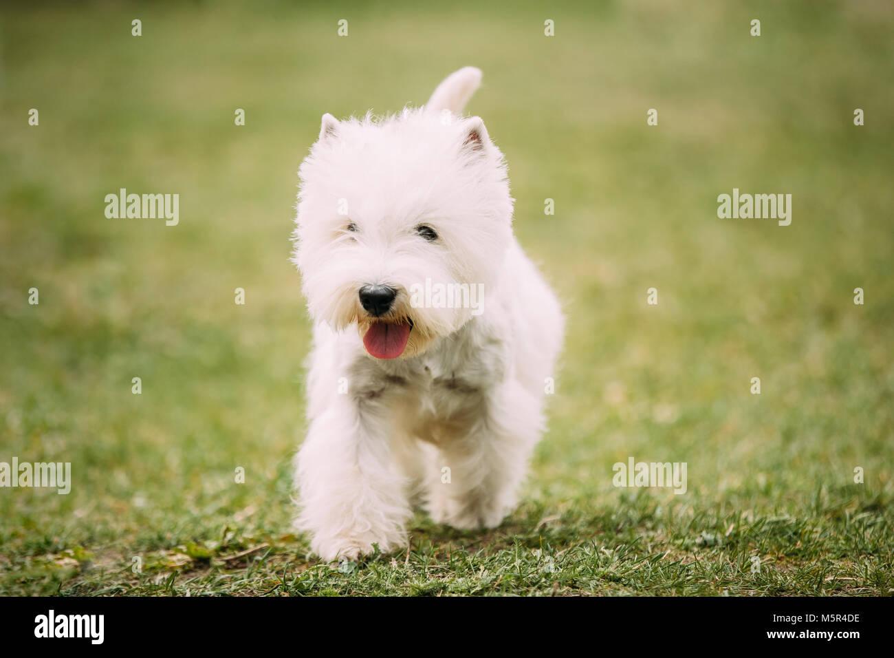 Small West Highland White Terrier - Westie, Westy Dog Running On ...