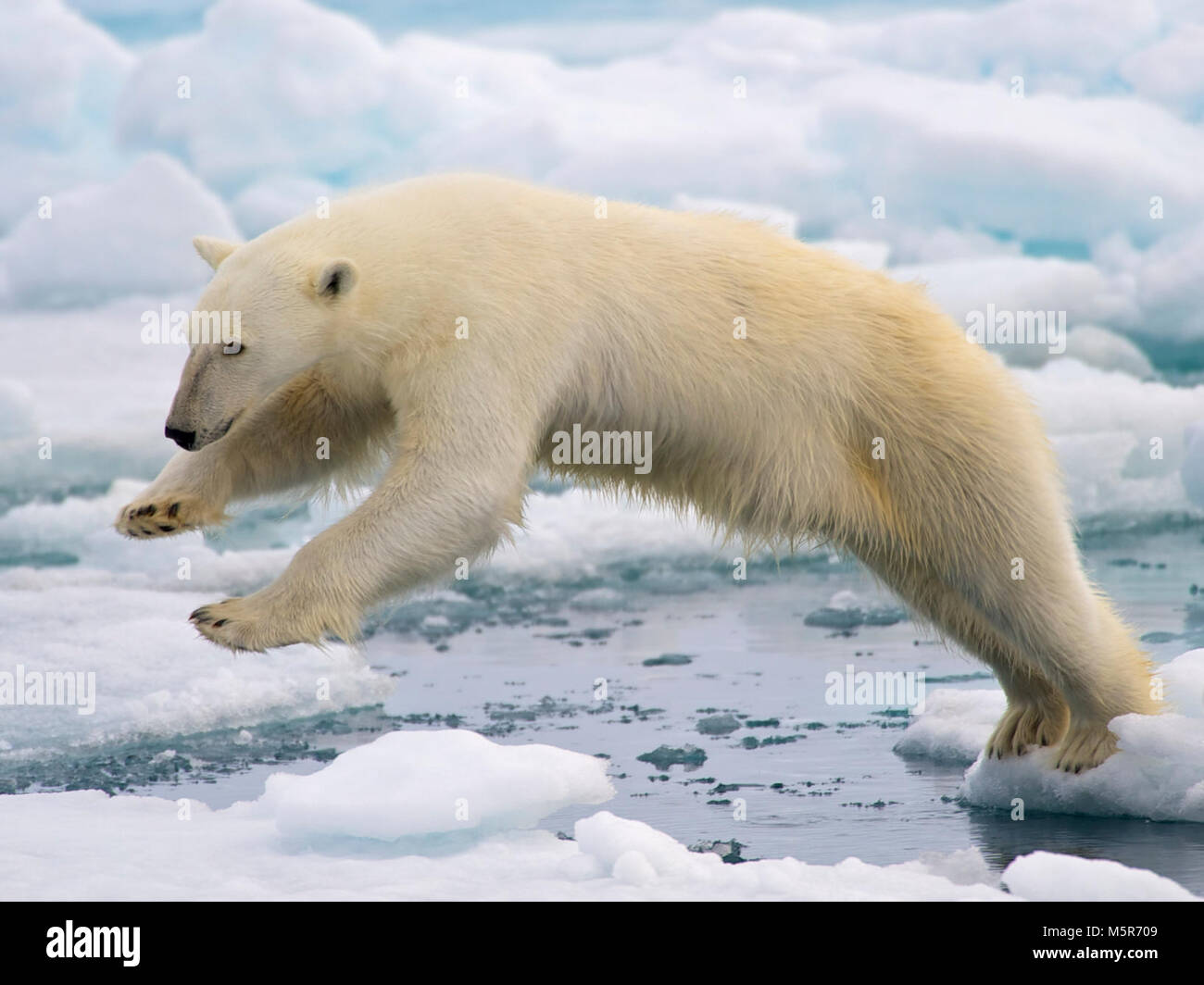 Polar bears polar bears in many ways have become the symbol of polar bears in many ways have become the symbol of climate change in 2008 they were listed as a threatened species under the endangered species act the biocorpaavc Images