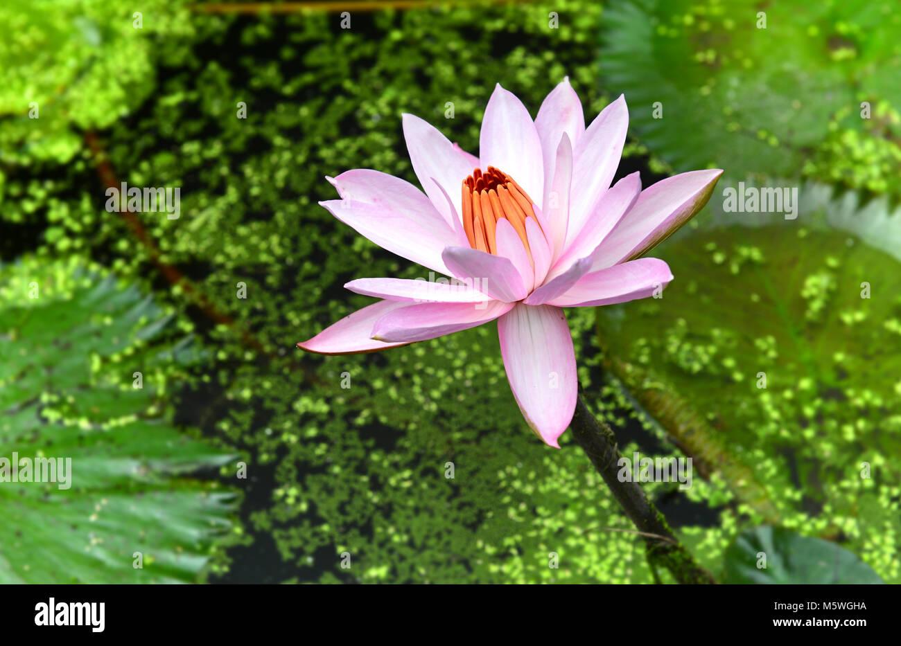 thailand tropical lutus in callage lake stock photo 175738790 alamy