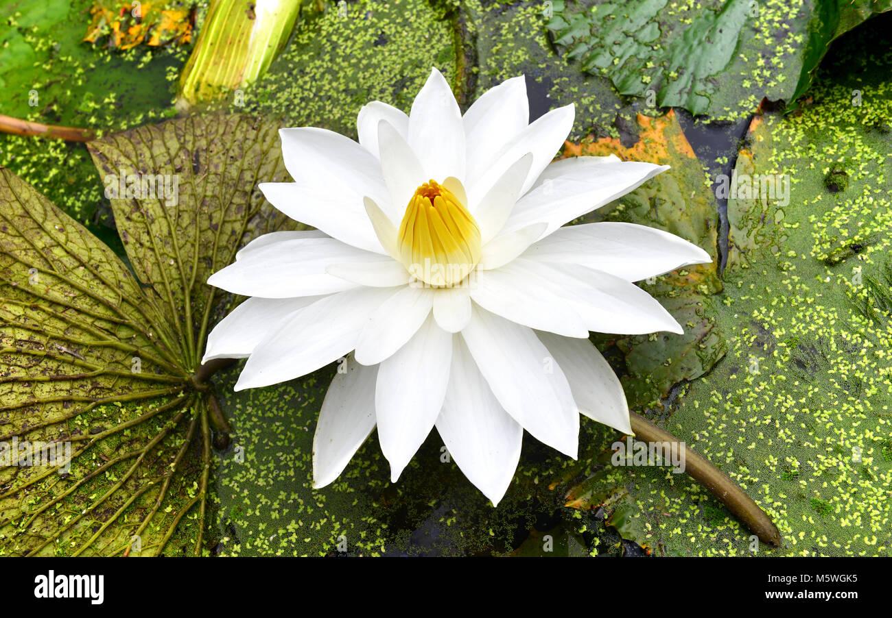 thailand tropical lutus in callage lake stock photo 175738841 alamy