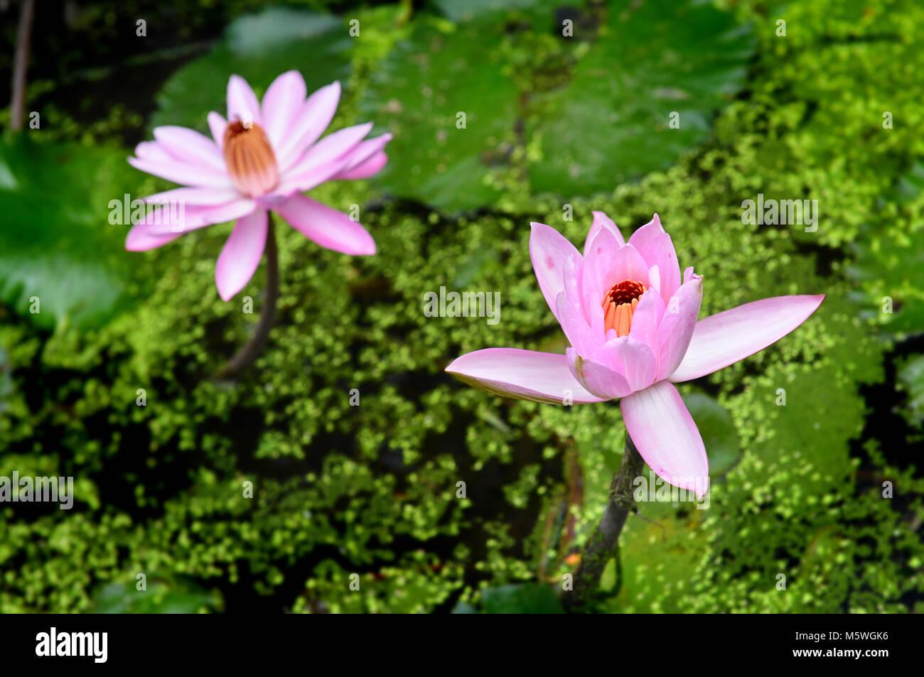 thailand tropical lutus in callage lake stock photo 175738842 alamy