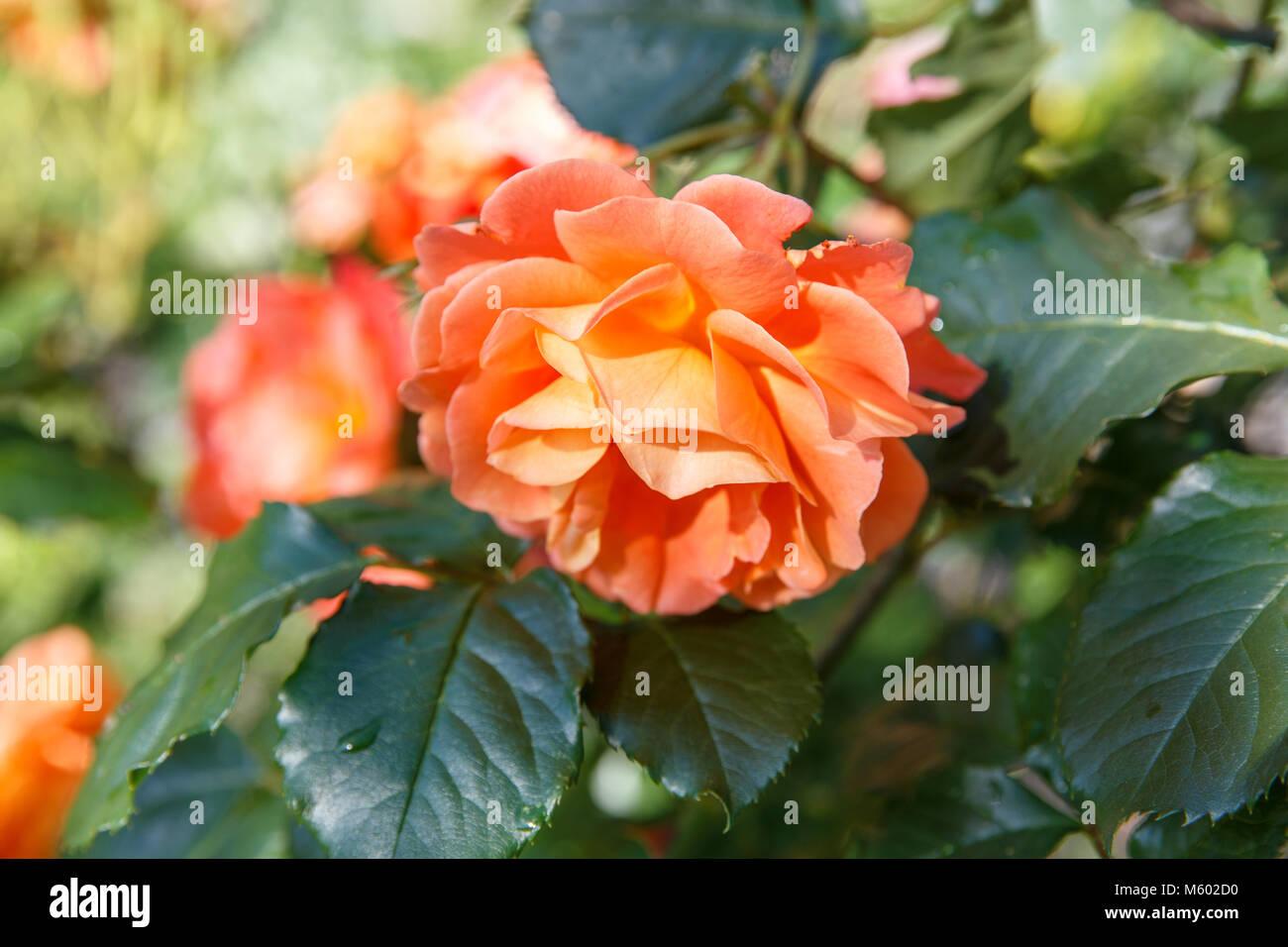 kordes rose stock photos kordes rose stock images alamy. Black Bedroom Furniture Sets. Home Design Ideas