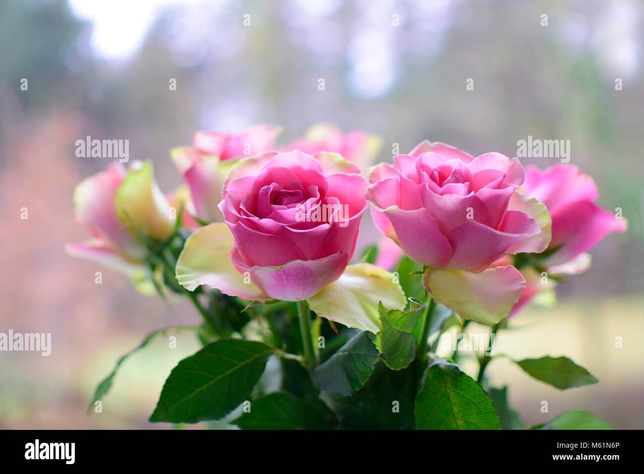 beautiful pink rose on blurred texture background, romantic symbol