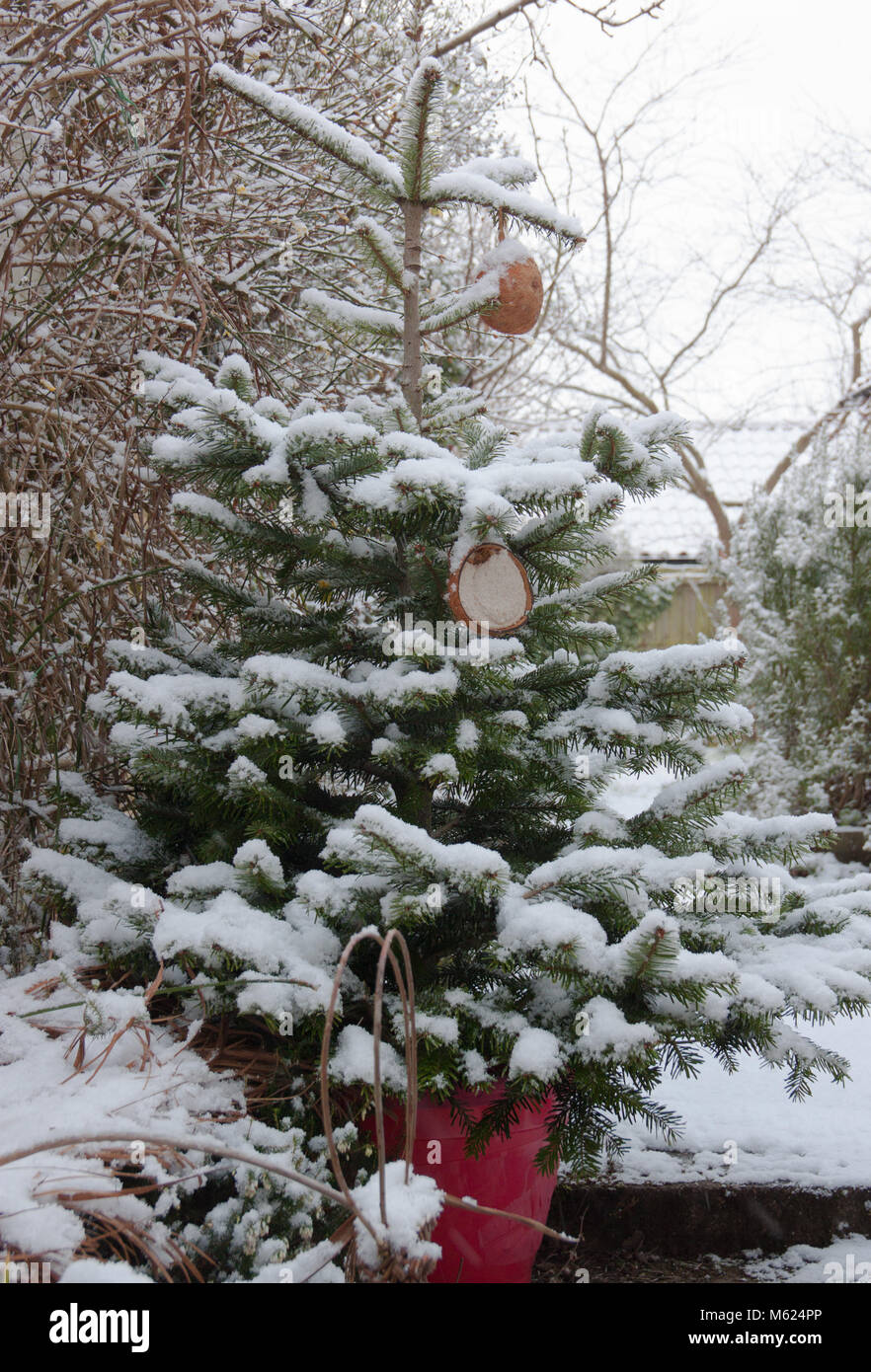 Christmas tree (Nordmann fir) covered in snow with bird feeders in ...