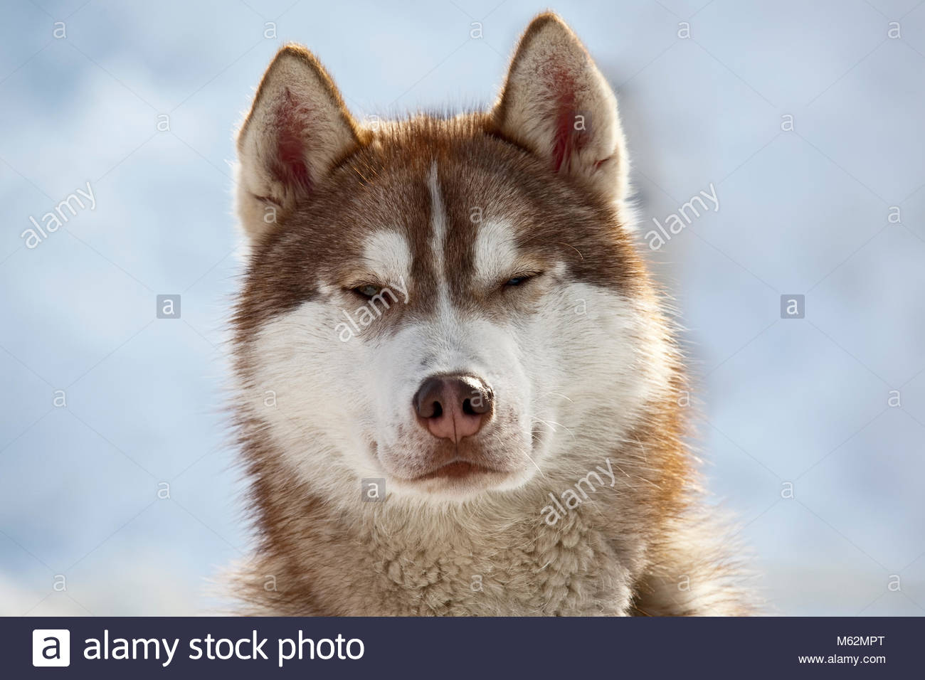 Red White Colored Siberian Husky Sledge Dog Stock Photo 175851840