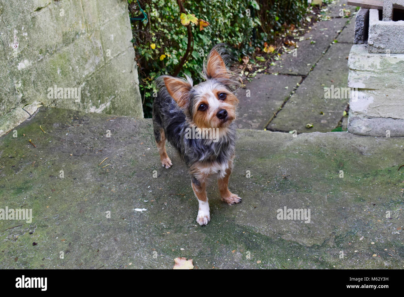 Chihuahua Mixed Yorkshire Terrier Standing And Looking Something On