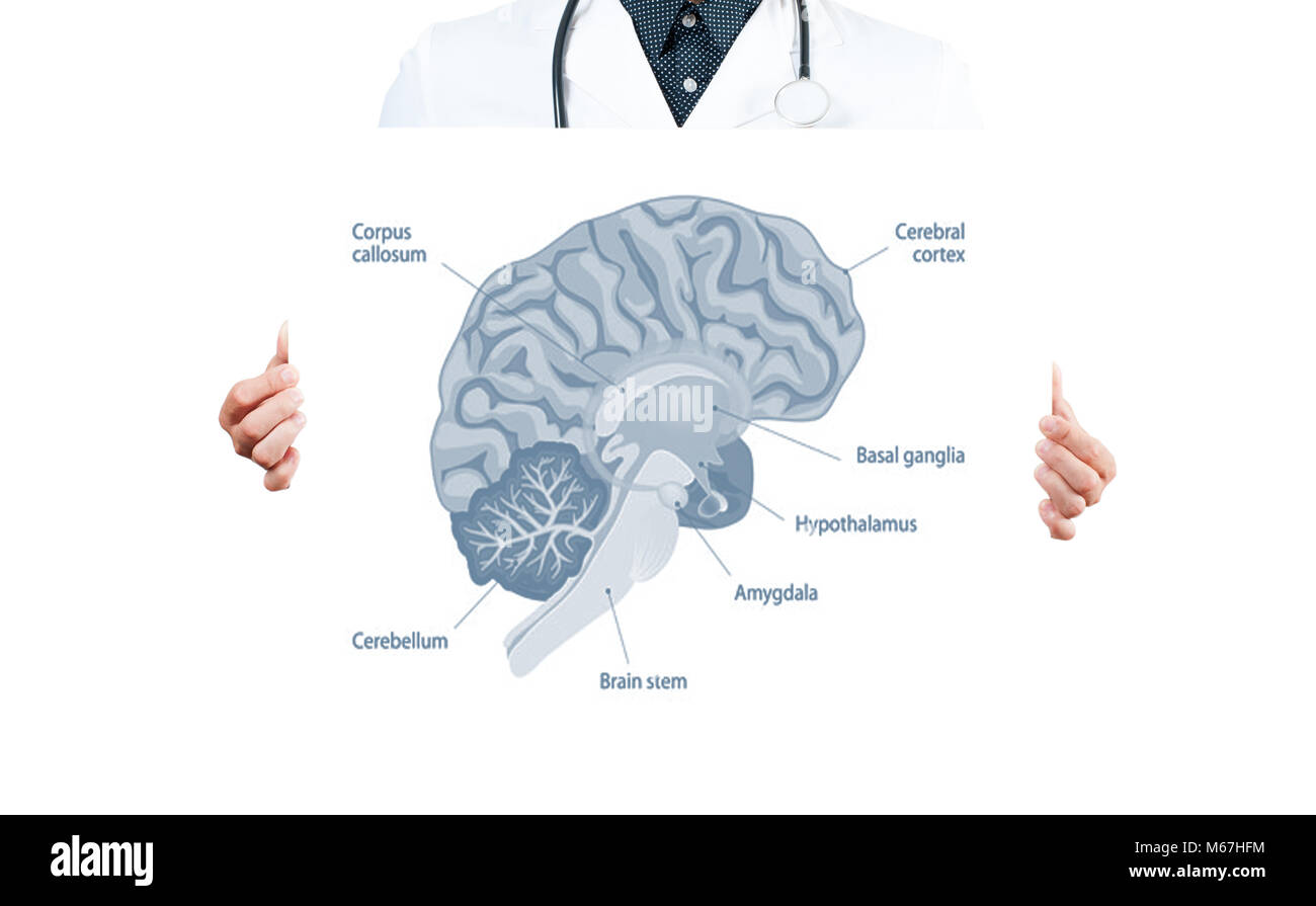 Human Braint. Doctor and Anatomy of human brain for basic medical ...