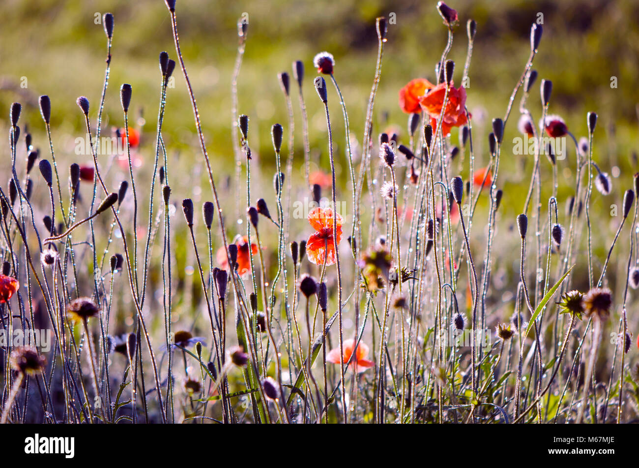 Blur Wild Poppies Flowers And Heads Nature Background Stock Photo