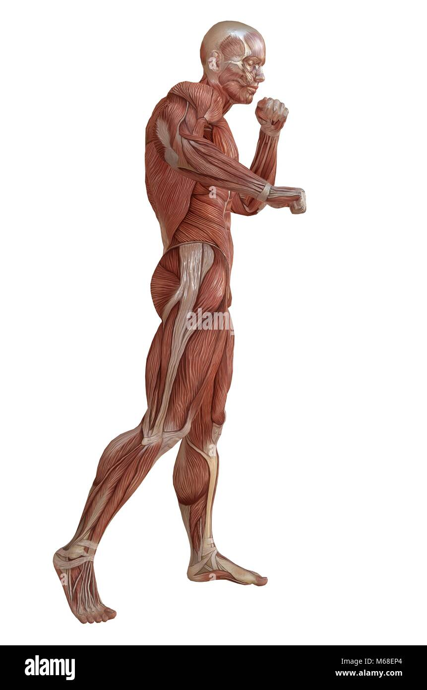 3D illustration male body without skin, anatomy and muscles isolated ...