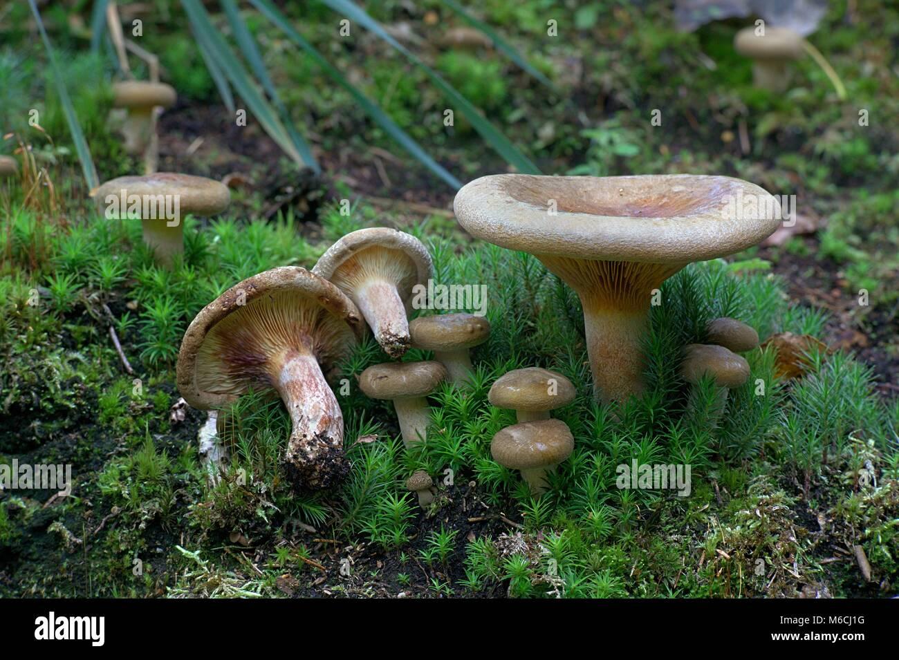deadly poisonous mushroom stock photos amp deadly poisonous