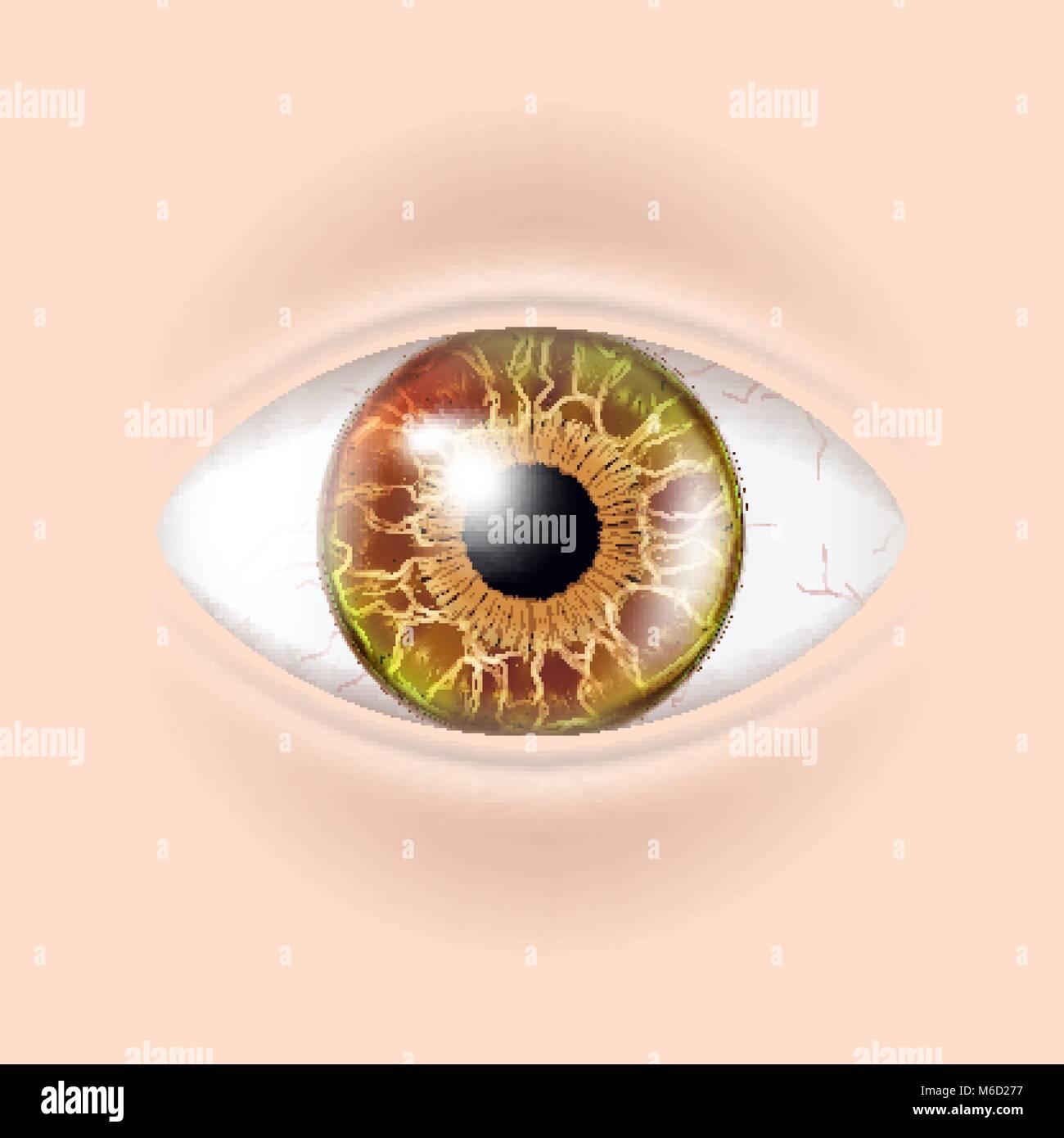 Human Eye Vector. Visual Examination. Body Check. Realistic Anatomy ...