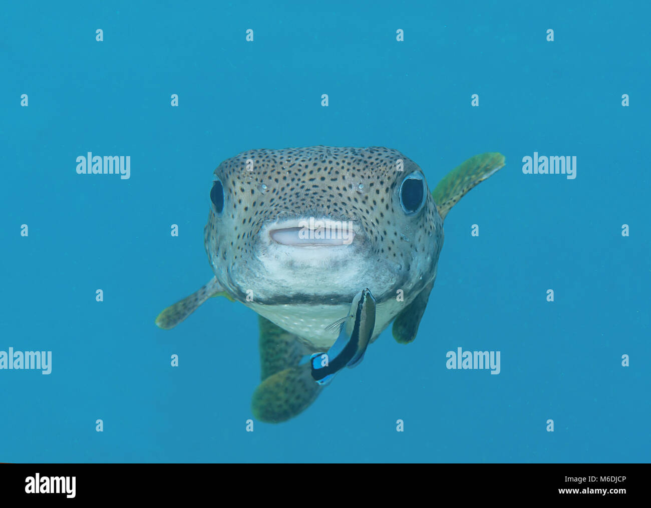 Brown puffer stock photos brown puffer stock images alamy for Fish cleaning station near me