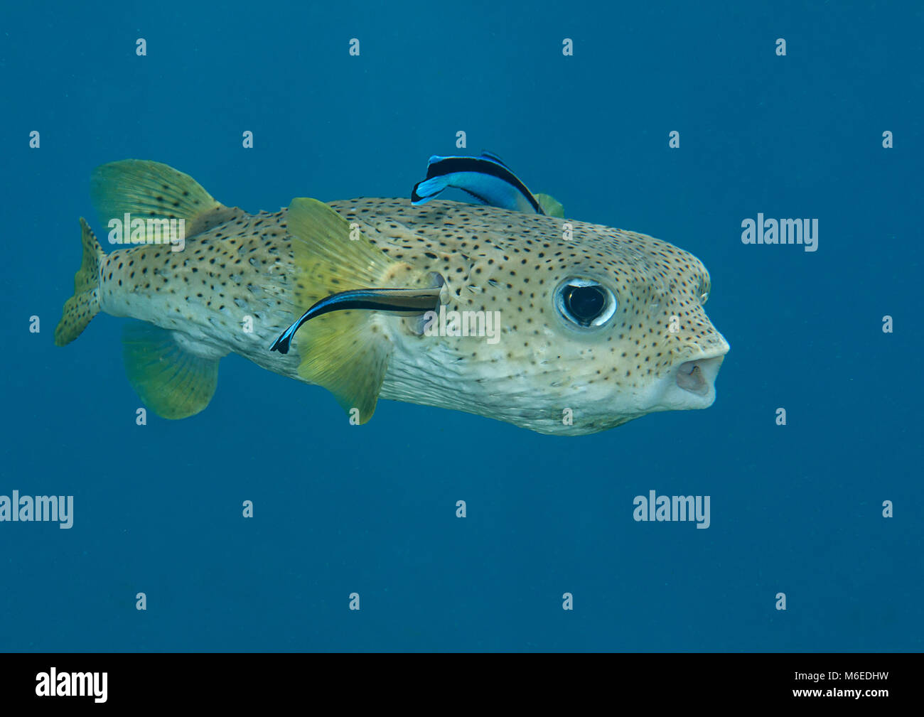 Porcupine pufferfish (diodon hystrix) being cleaned by cleaner fish ...