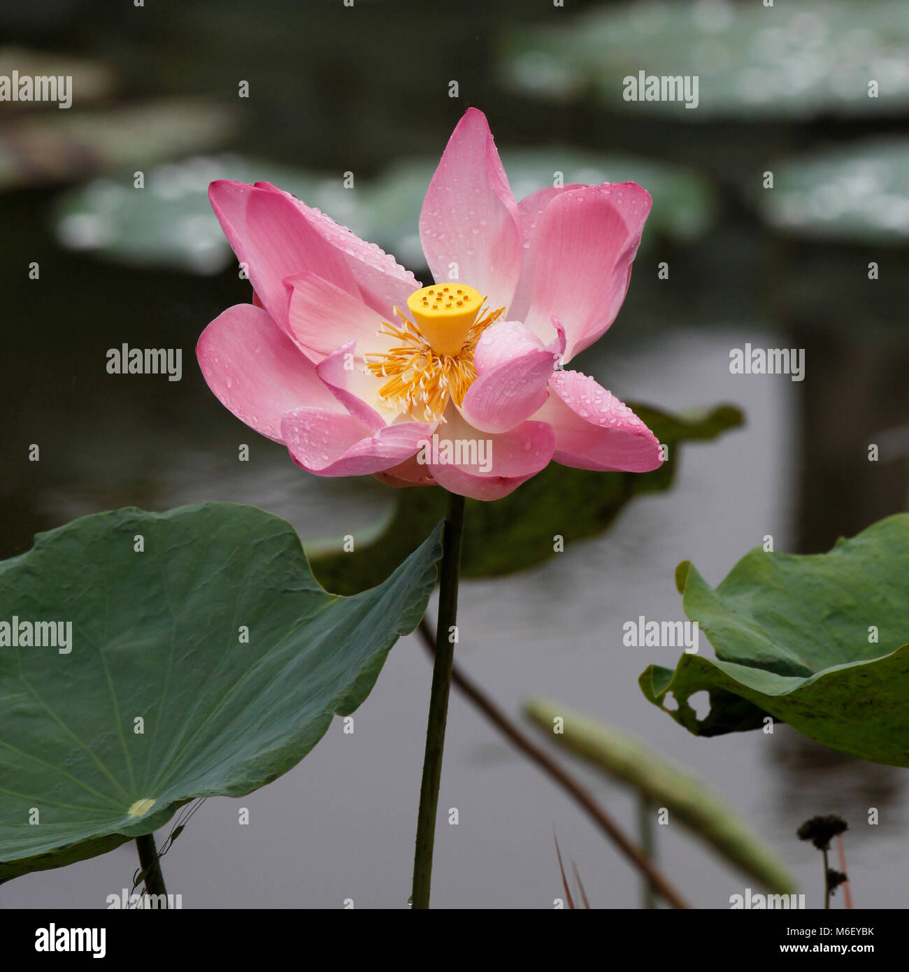 Lotus blute stock photos lotus blute stock images alamy open lotus flower in laos stock image izmirmasajfo Gallery