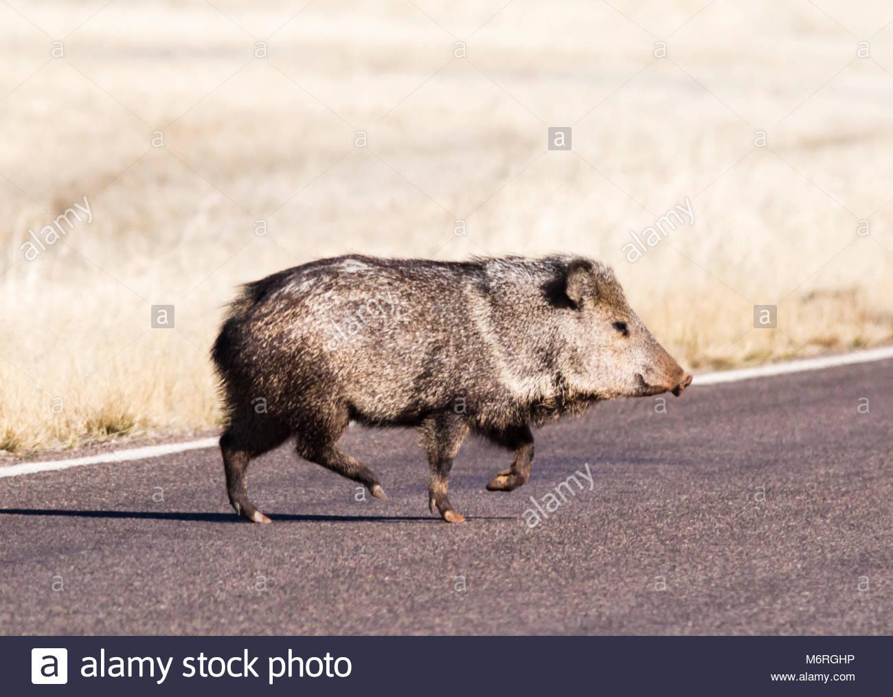 javelina-collared-peccary-pecari-tajacu-crossing-road-in-arizona-usa-M6RGHP.jpg