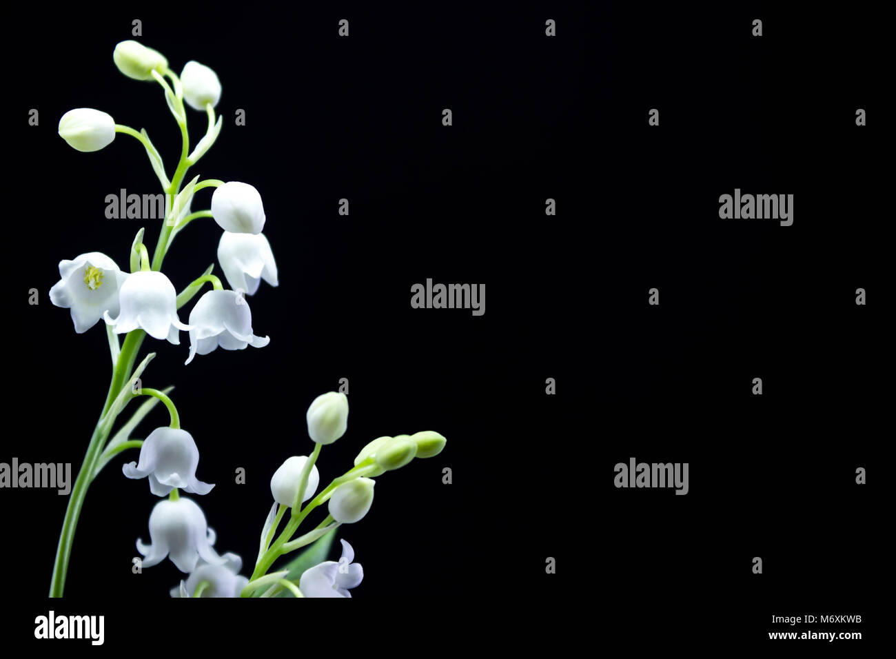 Fresh Spring Fragrant Flowers Lily Of The Valley On A Black Stock