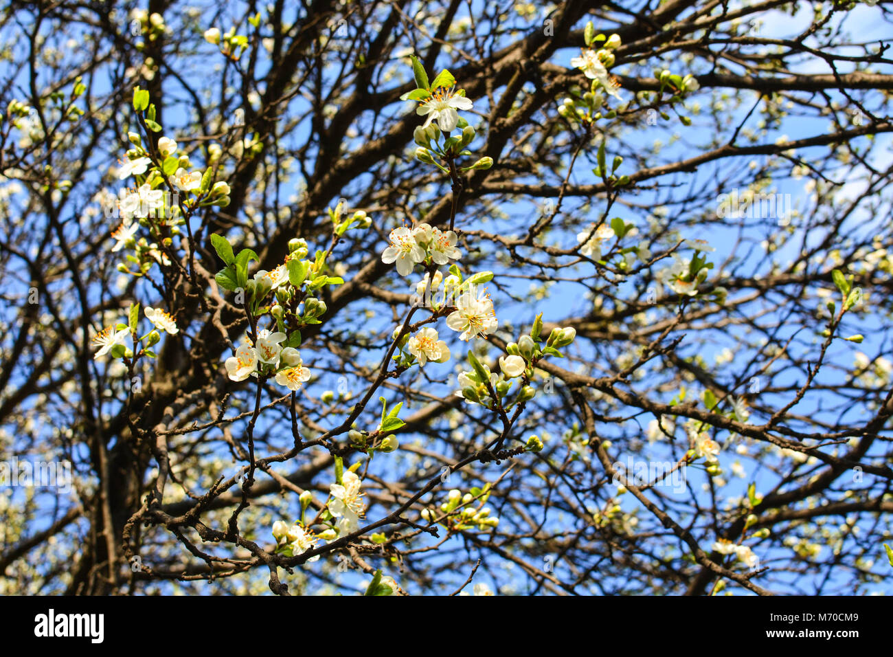 Apple tree spring blooms in soft background of branches and sky apple tree spring blooms in soft background of branches and sky early spring white flowers natural background mightylinksfo