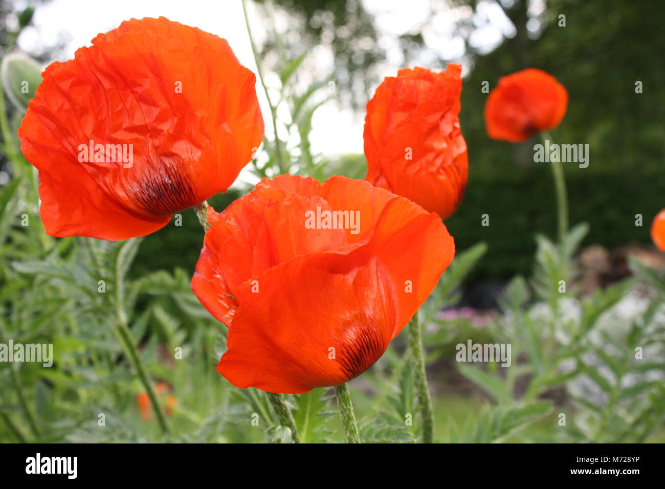 Poppies and heroin stock photos poppies and heroin stock images wild poppies stock image mightylinksfo